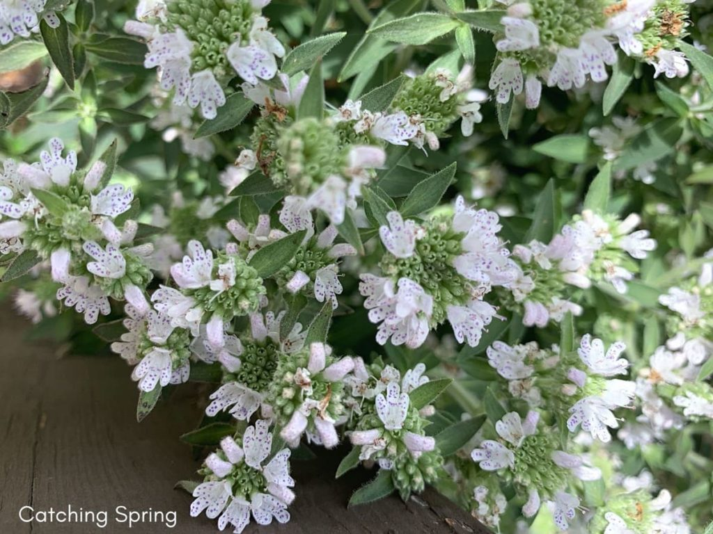 best fall flowers for pollinators and beauty mountain mint