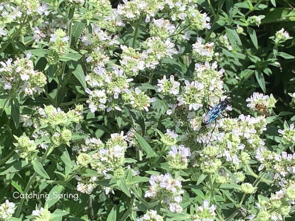 beautiful native plants you need for your Midwest garden mountain mint