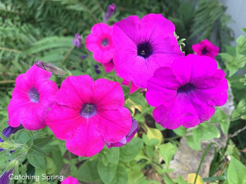 August flowers that are blooming right now petunias
