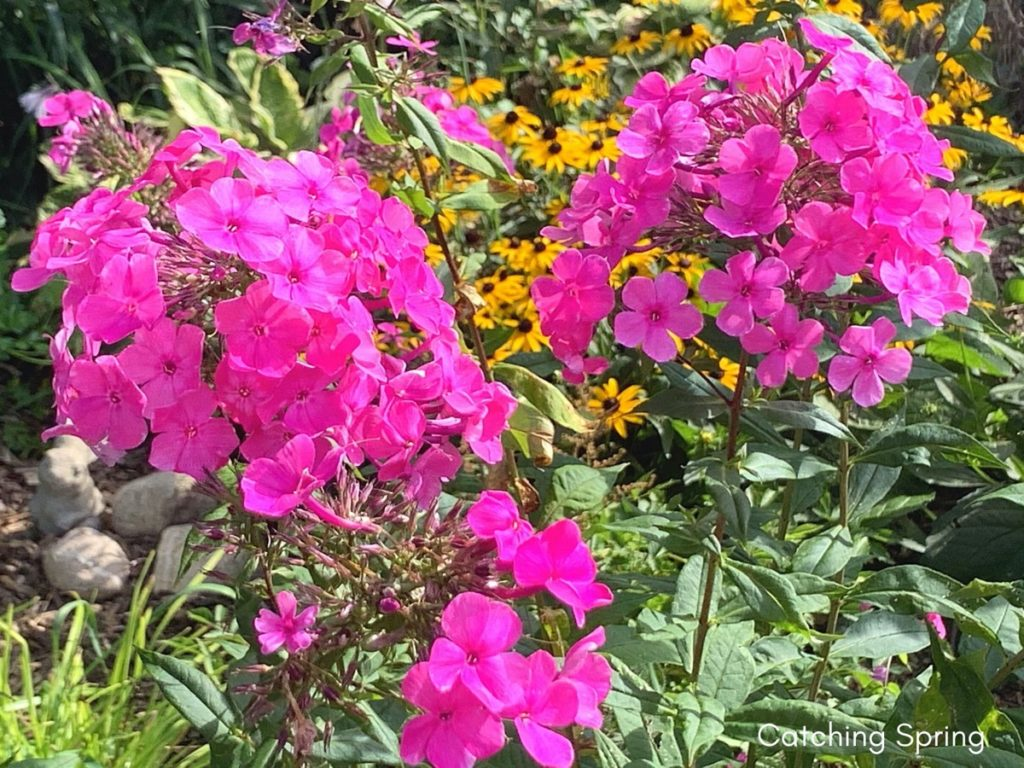August flowers that are blooming right now phlox