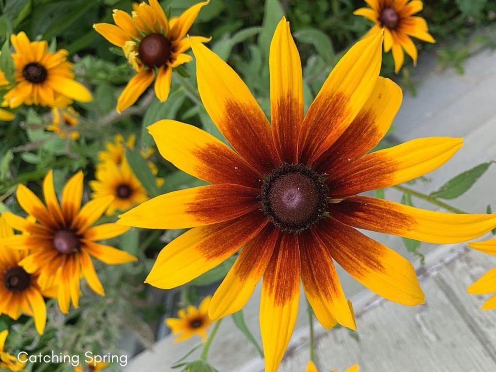 August flowers that are blooming right now rudbeckia