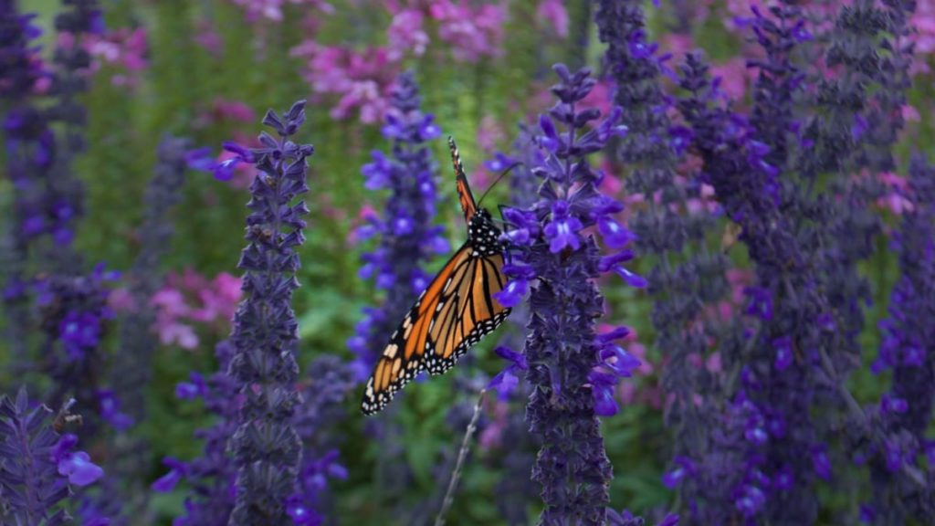 best fall flowers for pollinators and beauty Russian sage