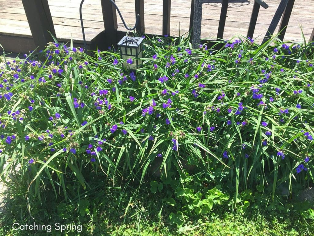 beautiful native plants you need for your Midwest garden spiderwort