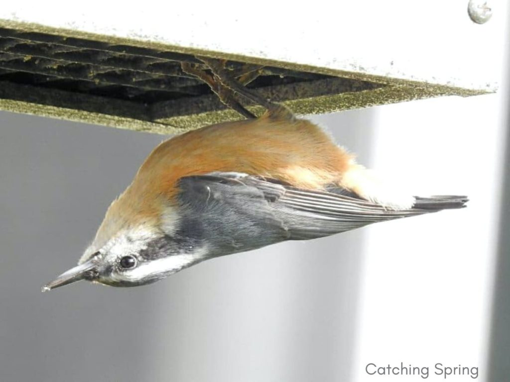 Important ways to help migrating birds this fall feed fruit, nuts, or suet