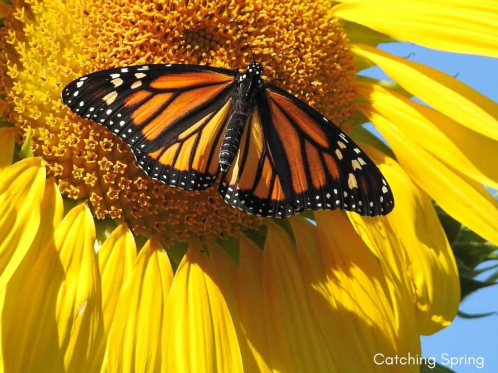 best fall flowers for pollinators and beauty sunflowers