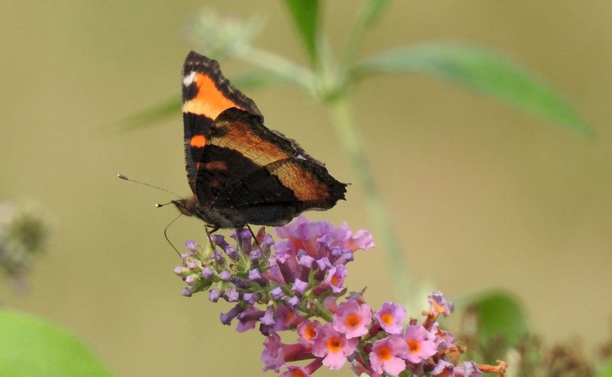 welcome butterflies to your yard or garden