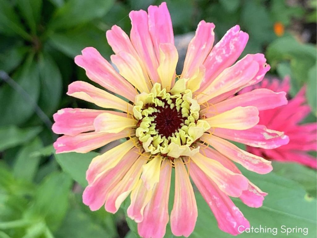 best fall flowers for pollinators and beauty zinnia