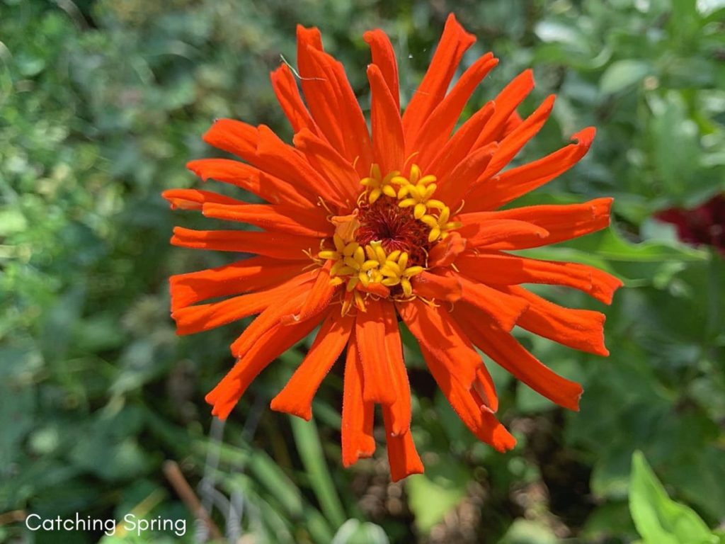 August flowers that are blooming right now zinnias