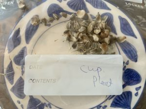 saving seeds from next year from popular flowers cup plant seeds