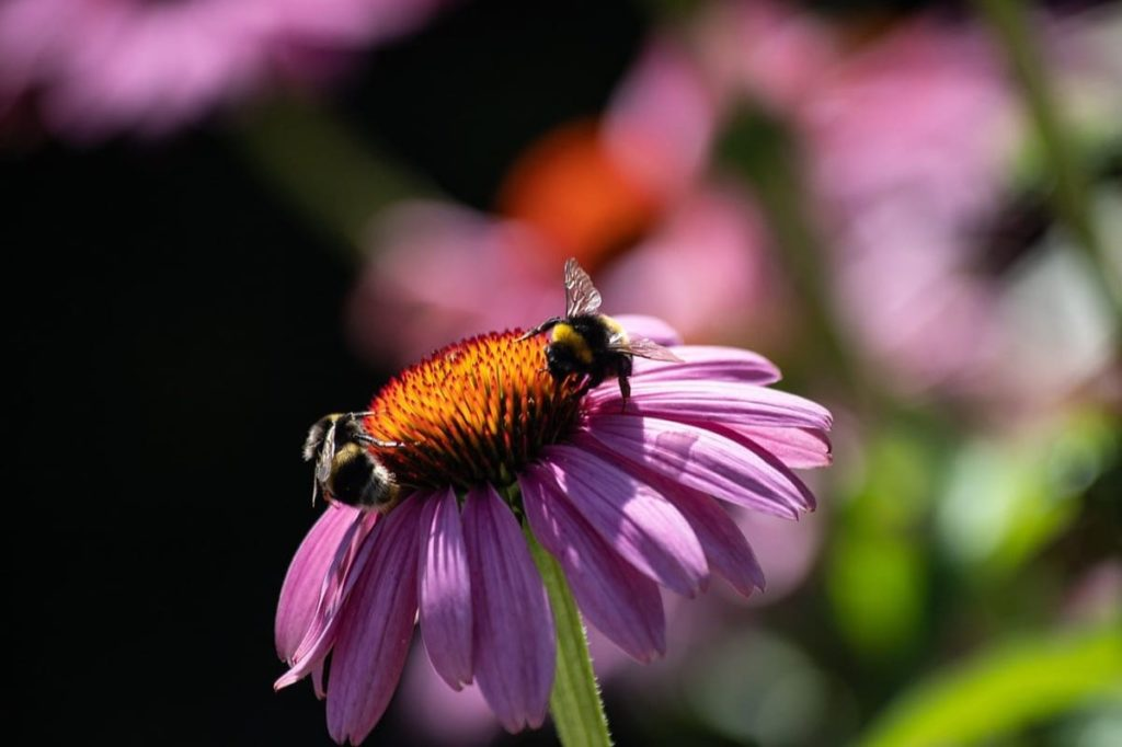 The Complete Guide to growing Echinacea Coneflower from seeds from harvest to flower outdoor care