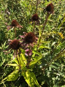 The Complete Guide to growing Echinacea Coneflower from seeds from harvest to flower