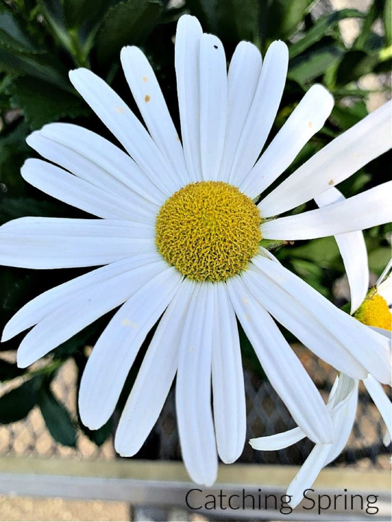 saving seeds from next year from popular flowers Shasta daisy