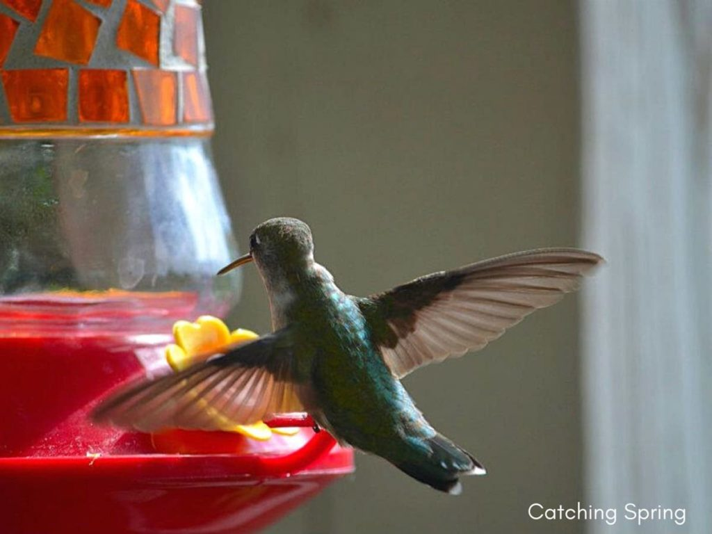 Fascinating things to know about migrating hummingbirds how long to keep the feeders up