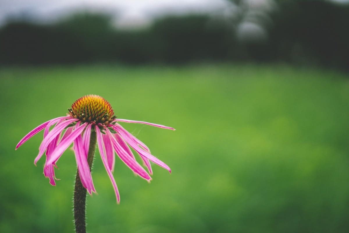 The Complete Guide to Growing Echinacea/Coneflower From Seeds – 7 Easy Tips From Harvest to Flower