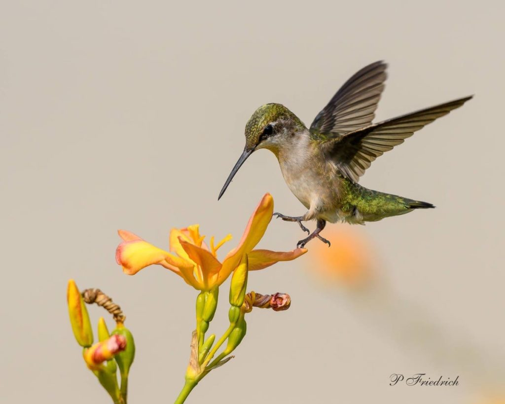 Fascinating things to know about migrating hummingbirds fun facts about hummingbirds