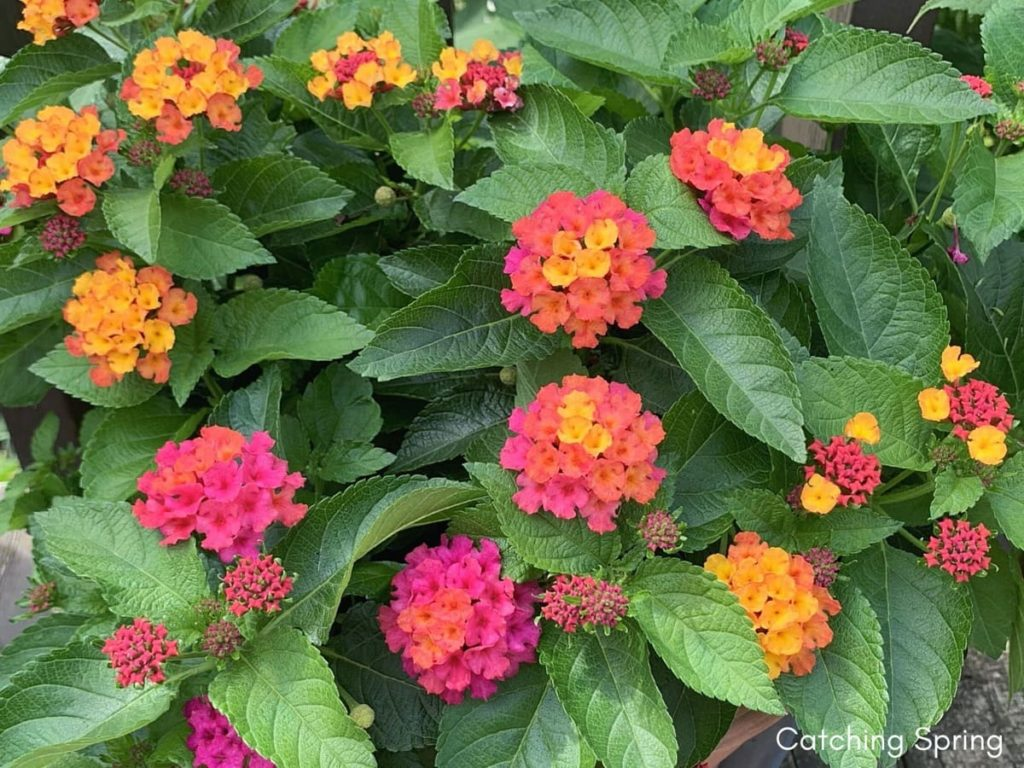 saving seeds from next year from popular flowers lantana
