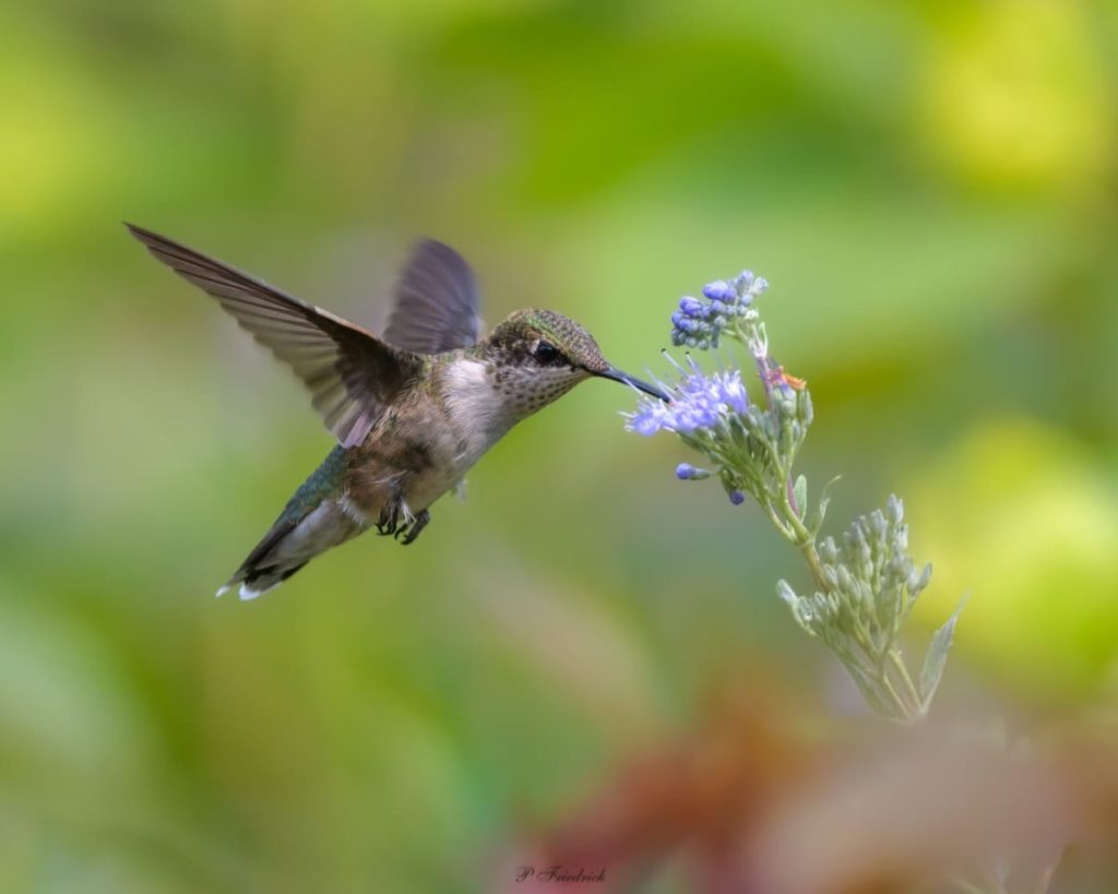 Fascinating things to know about migrating hummingbirds how far do they migrate