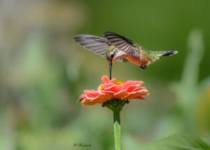 Migrating Hummingbirds – 5 Fascinating Things You Need to Know!