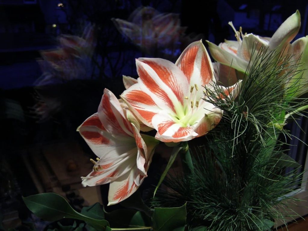 storing tender bulbs 7 helpful tips to successfully overwinter overwintering as house plants