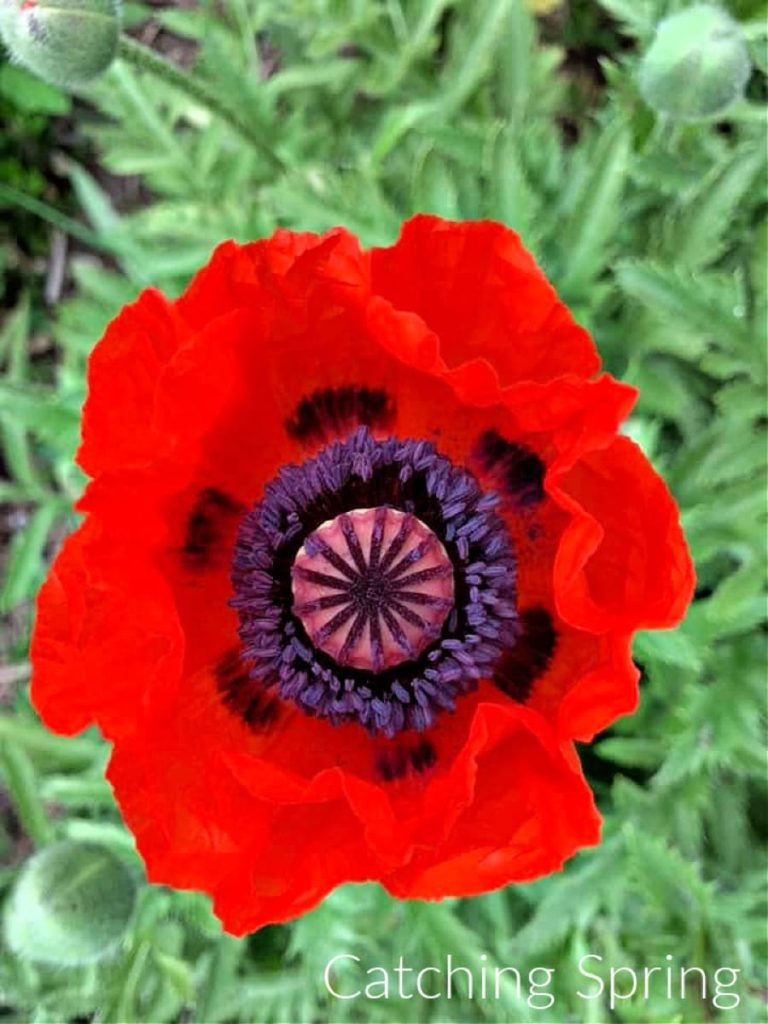 saving seeds from next year from popular flowers poppies
