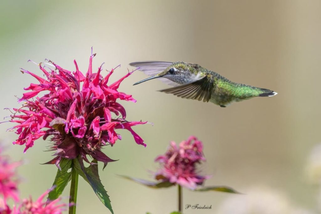 Fascinating things to know about migrating hummingbirds do they really prefer red