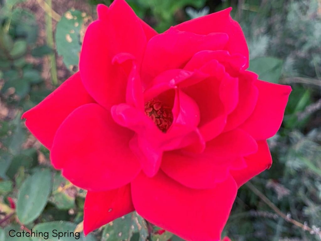 fall garden prep essential things you DON'T want to do and why pruning roses