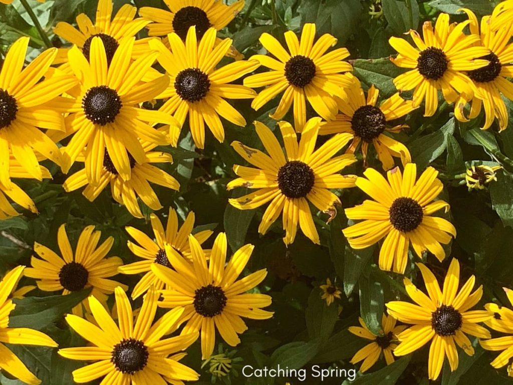 saving seeds from next year from popular flowers rudbeckia