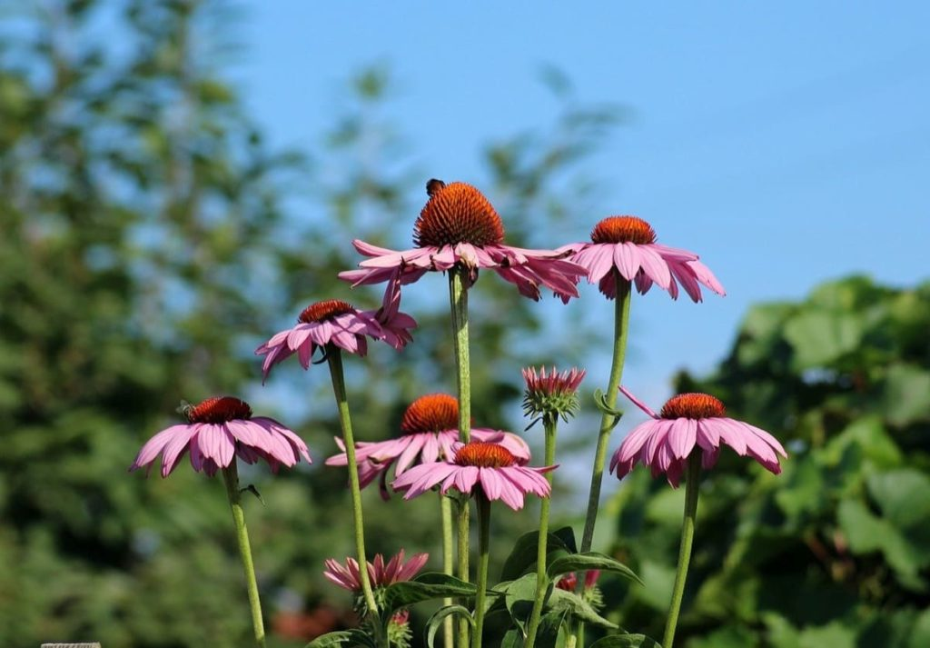 The Complete Guide to growing Echinacea Coneflower from seeds from harvest to flower how to store Echinacea seeds