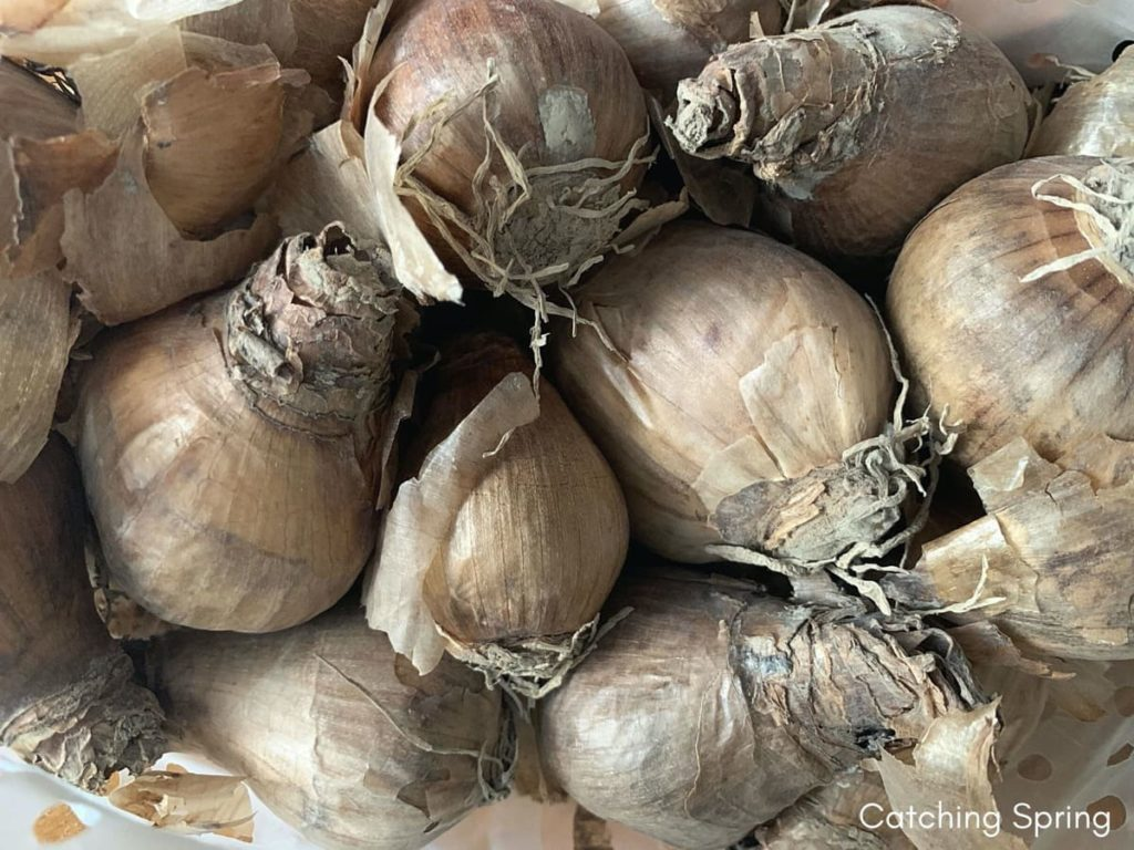 storing tender bulbs 7 helpful tips to successfully overwinter how to store tender bulbs