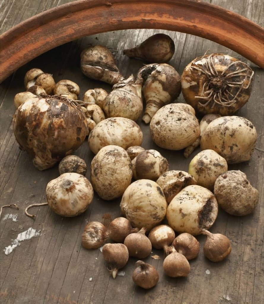 storing tender bulbs 7 helpful tips to successfully overwinter troubleshooting stored bulbs