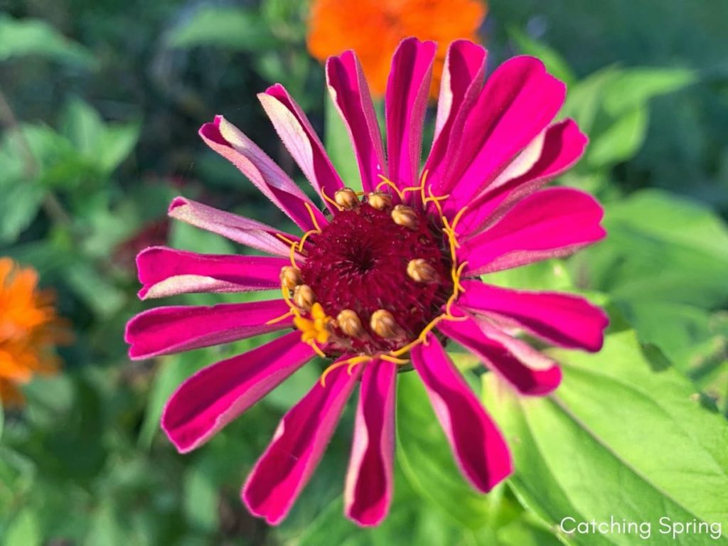 saving seeds from next year from popular flowers zinnia