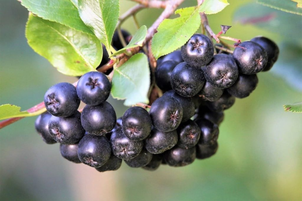 top 10 fall berry bushes chokeberry