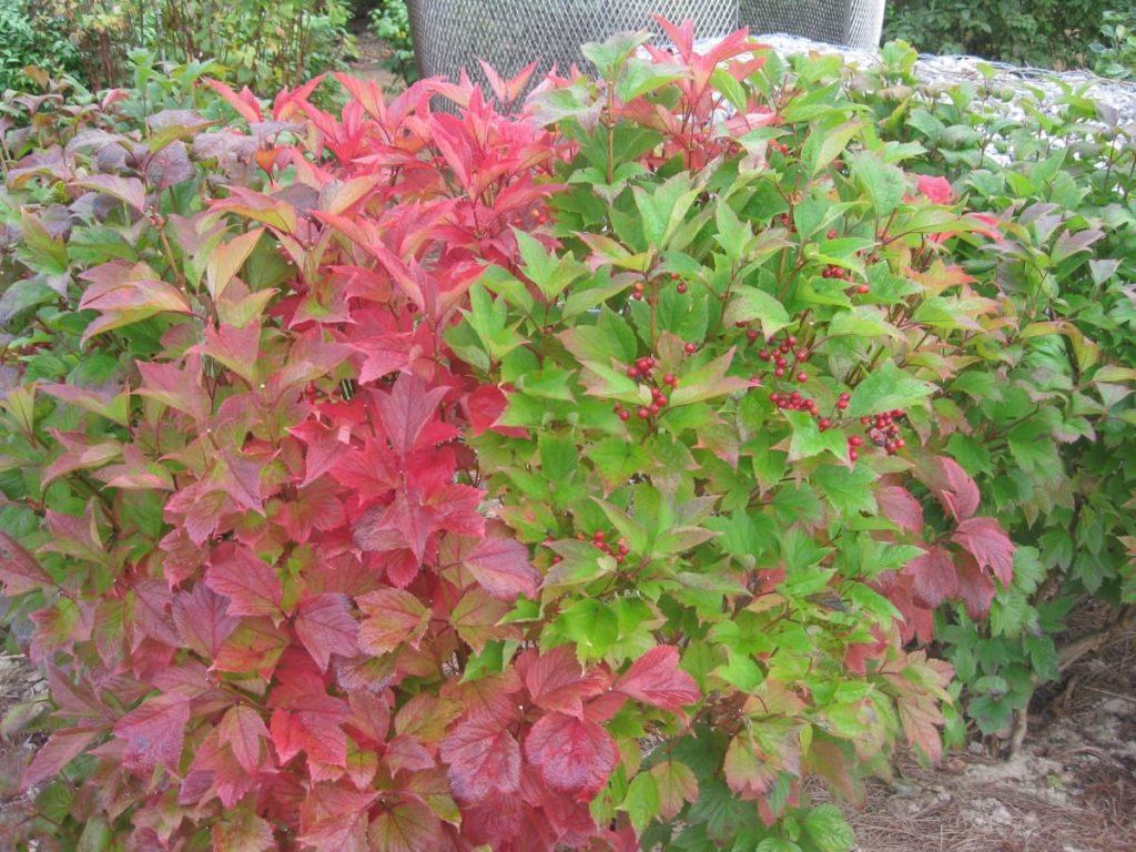 top 10 fall berry bushes American cranberry viburnum