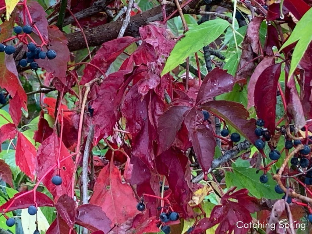 top 10 fall berry bushes Virginia creeper