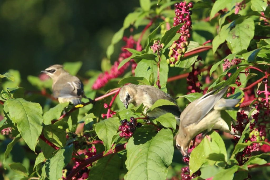 top 10 fall berry bushes pokeweed