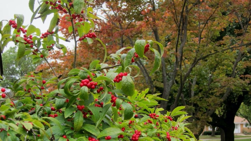 top 10 fall berry bushes winterberry holly