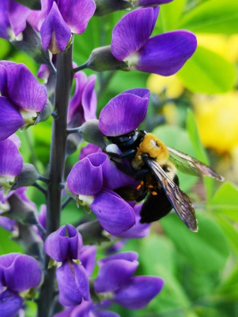 15 uncommon perennials you need in your garden right now Baptisia