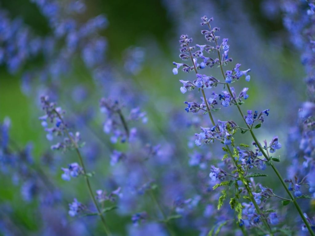 15 uncommon perennials you need in your garden right now catmint