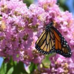 Create a Perfect Certified Monarch Waystation – 7 Expert Tips