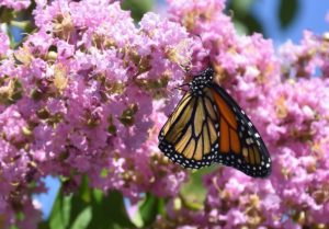 create a perfect certified Monarch waystation in 7 expert tips
