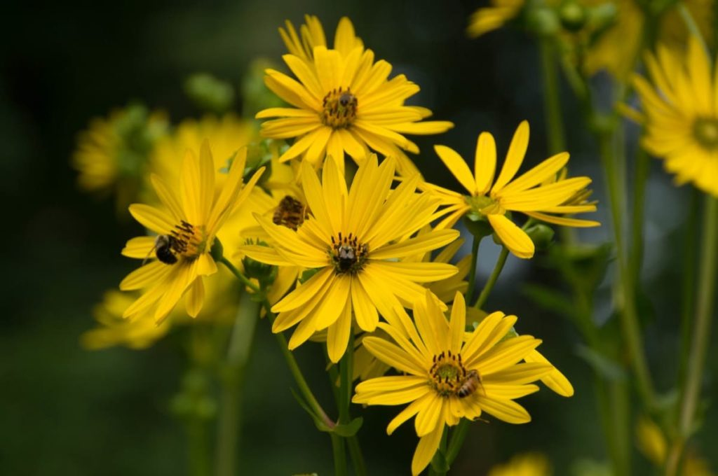 15 uncommon perennials you need in your garden right now cup plant