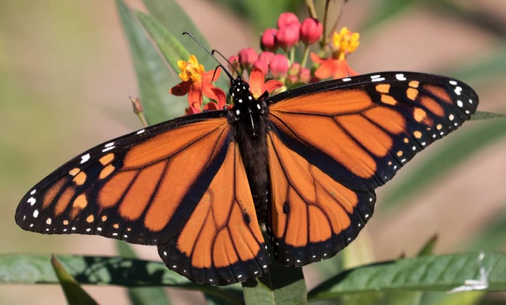 create a perfect certified Monarch waystation in 7 expert tips add nectar flowers