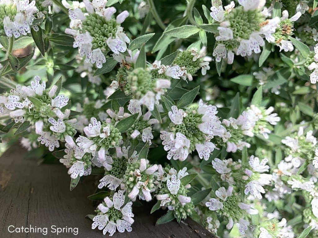 15 uncommon perennials you need in your garden right now mountain mint