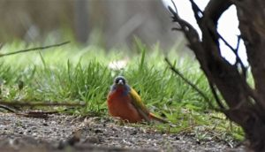 painted bunting a long way from home