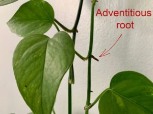 leggy seedlings adventitious root example from pothos plant