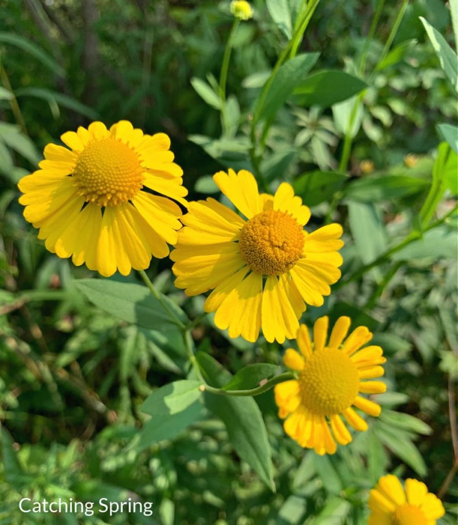 15 uncommon perennials you need in your garden right now sneezeweed