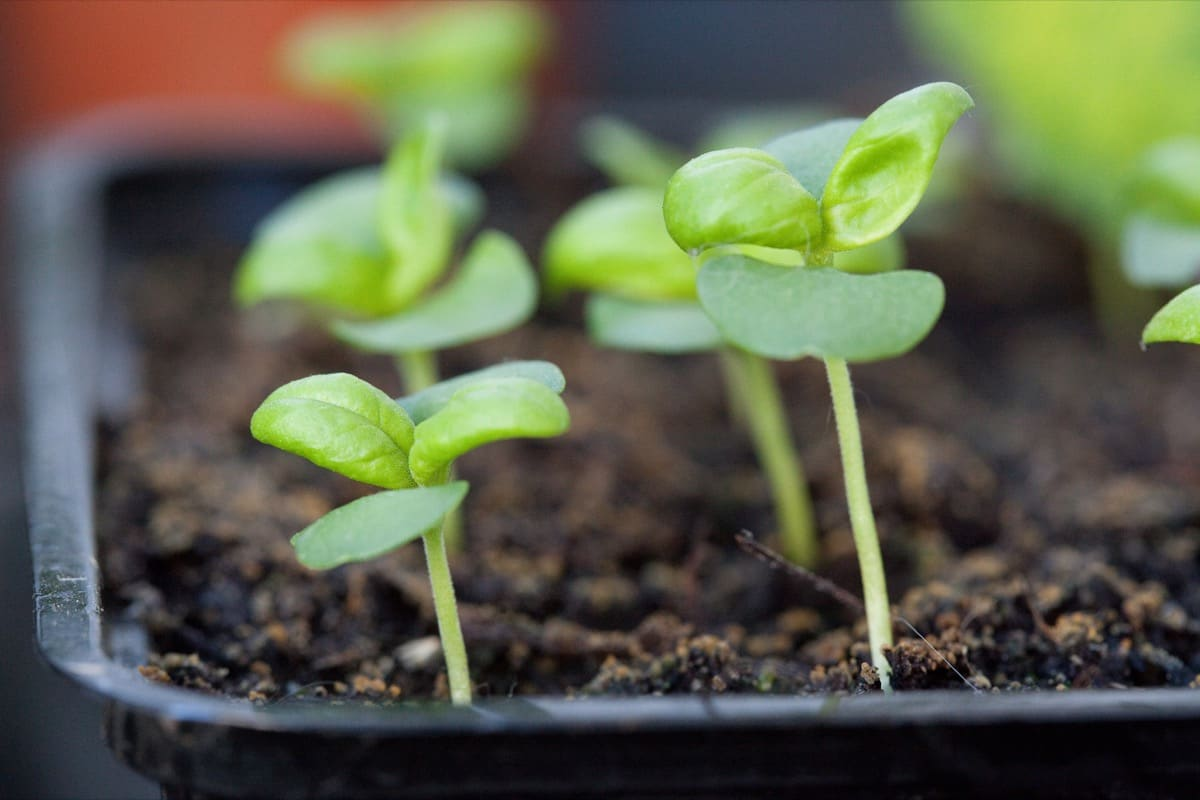 Beginner's Guide to Starting Seed Indoors – 9 Easy Steps