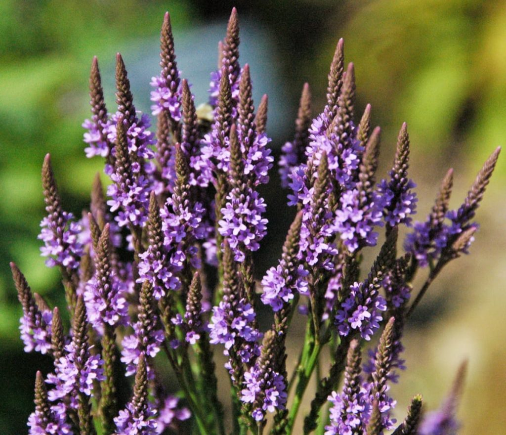 15 uncommon perennials you need in your garden right now Blue Vervain