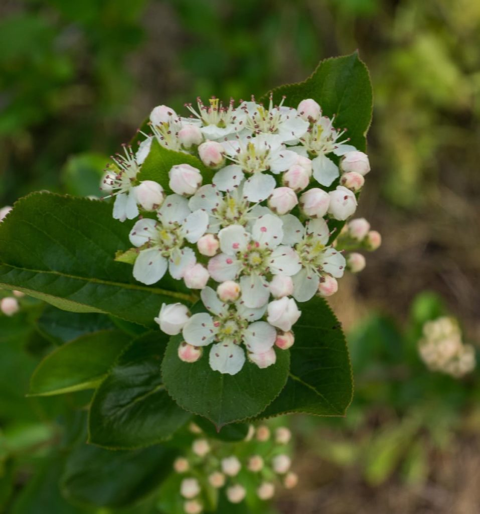 12 Best Winter Interest Plants for the Midwest (and Northeast) black chokeberry