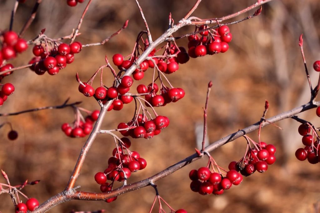 12 Best Winter Interest Plants for the Midwest (and Northeast) red chokeberry